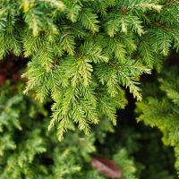 Spruce/ Hemlock Essential Oil