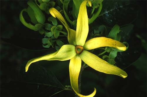 Ylang, Ylang Essential Oil