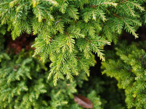 Spruce/ Hemlock Essential Oil